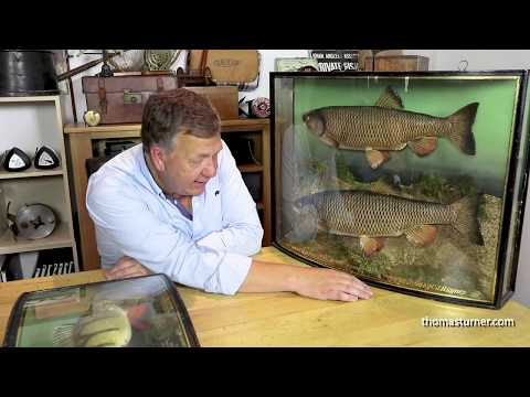 Collecting Cased Fish Taxidermy
