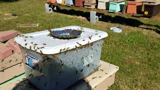 Yellow jacket problem? Here is the cure. Update on trap
