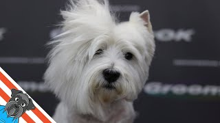 Westie grooming guide  My loved dog