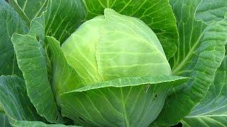видео Как быстро и правильно вырастить капусту на даче