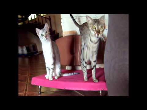 Hodowla Kotów Egipskie Mau Rosyjskie Niebieskie Brytyjskie Ojos