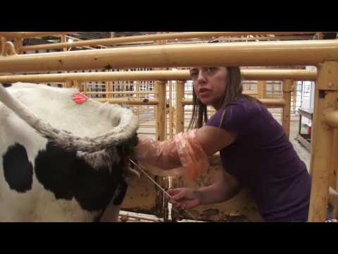 Dairy Cow Breeding