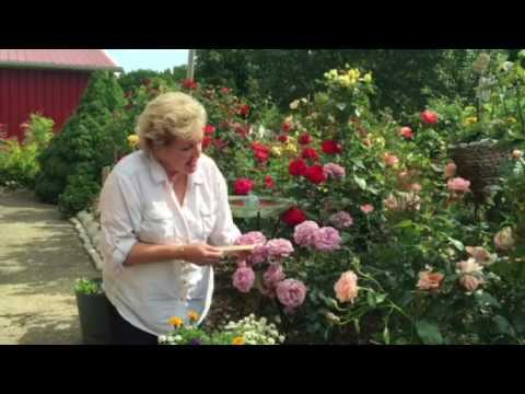 'Love Song' Floribunda Rose Review