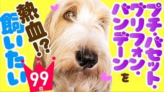 【犬を飼いたい‼️】人気99位❤️プチ・バセット・グリフォン・バンデーン🐶 子犬やかわいい動画で、性格や飼いやすさ、価格、寿命、体重などを楽しくチェック!