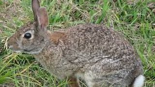 Eastern Cottontail Rabbit Eating Grass!