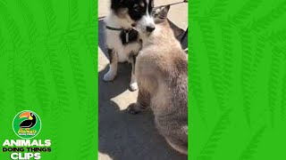 Cat Gives Puppy a Bath | Animals Doing Things Clips