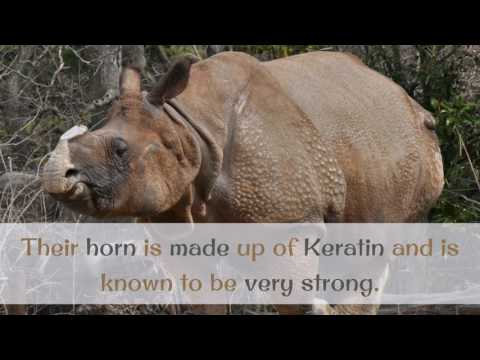 16 Facts You Should Know About Indian Rhinoceros