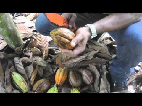 Adventures at a Dominican Republic Organic Cacao Farm