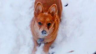 Fox The Arctic Corgi Flops In The Snow