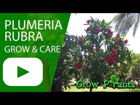 Plumeria rubra - grow and care (Red frangipani)