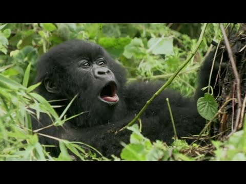 Baby Gorilla Bamboo Feast | Mountain Gorilla | BBC