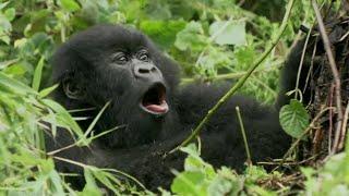 Baby Gorilla Bamboo Feast | Mountain Gorilla | BBC Earth