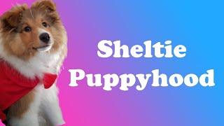 Sheltie Puppyhood