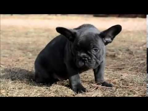 A Cute Video Of An Exquisite Rare Solid Blue French Bulldog Puppy