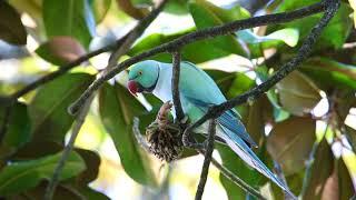BLUE INDIAN RINGNECK PARAKEET@ harsha BLUE INDIAN RINGNECK PARAKEET  Psittacula krameri