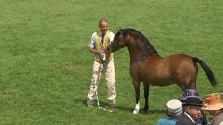 Merlod Mynydd Cymreig March 8 | Welsh Mountain Ponies Stallions 8
