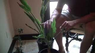 Francis the Gardener TIP #3: How to Care for Bird of Paradise plant in Sonoran Desert