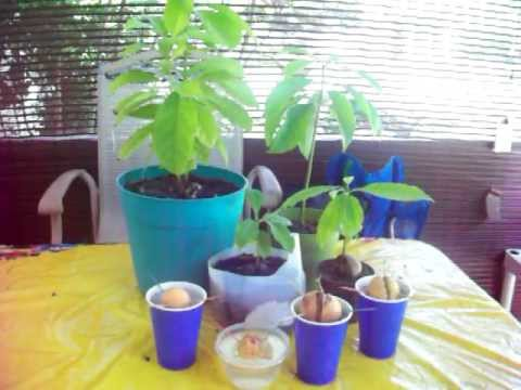 Growing Avocados From Seeds - Youtube