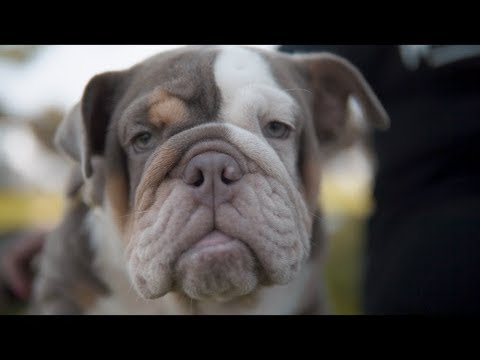 951 Bullies English and French Bulldogs Promo Video