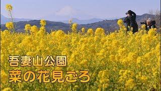 神奈川県二宮町 吾妻山公園で菜の花と富士山