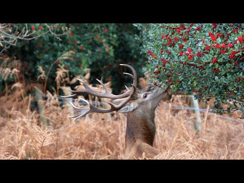 Exmoor Red Deer Stag Collects Holly For Christmas