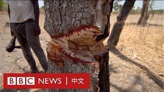 「滴血」的紅木:從塞內加爾到中國,西非紅木走私和生態災難調查- BBC News 中文