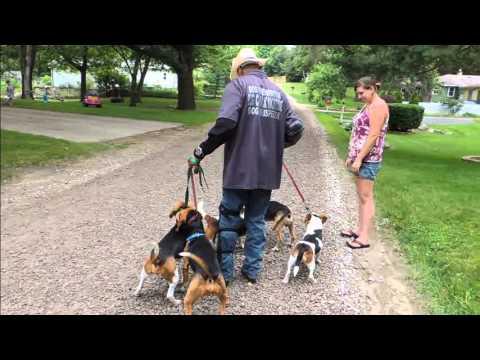 5 Stubborn Beagles Learn to Walk - DOG INTERVENTION Dog Whisperer/Interventionist BIG CHUCK MCBRIDE
