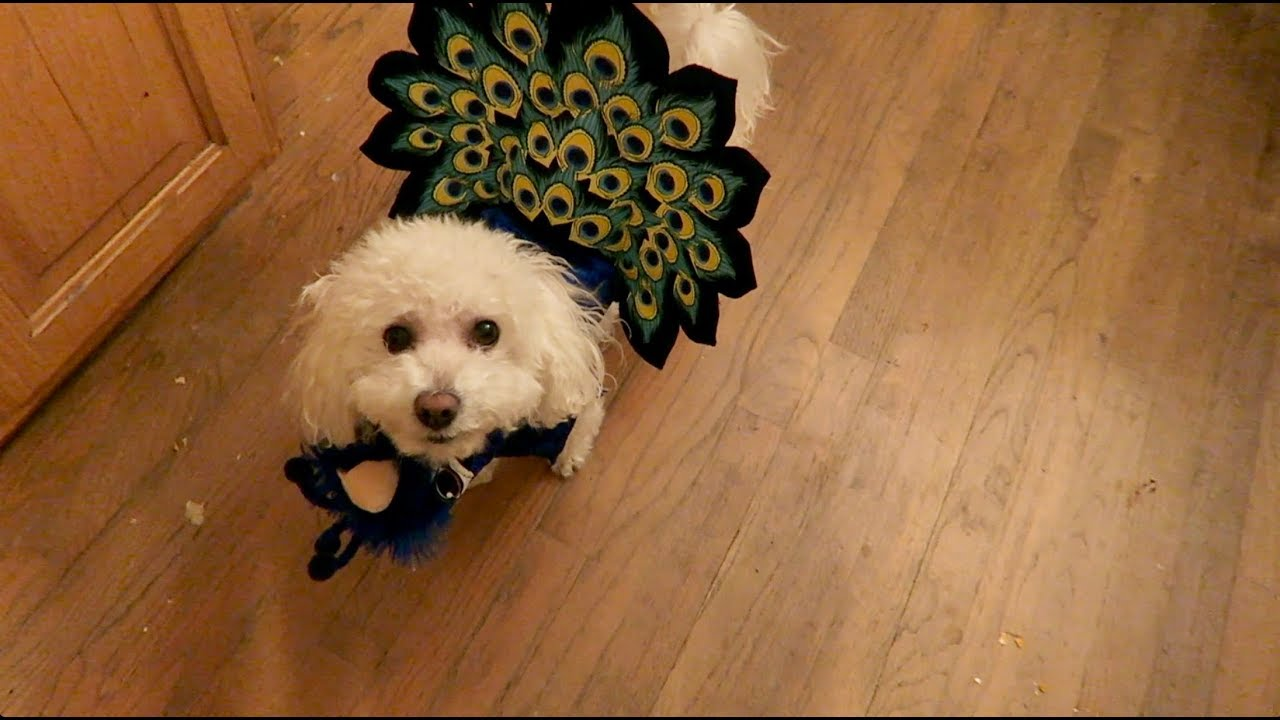 Thanksgiving Dog Costume! & Thanksgiving Dog Costume! - YouTube