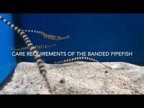 Banded Pipefish Care (Doryrhamphus Dactyliophorus)