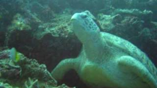 Huge Green Turtle on the Bunaken Wall,North Sulawesi