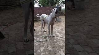 Pakistani Beast Dog Pure Bully Kutta!! Must Watch
