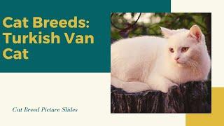 Turkish van Slides  Cat Breeds