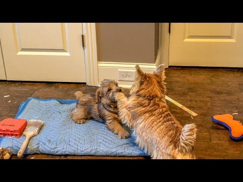 Norfolk Terriers Wrestling On The Mat
