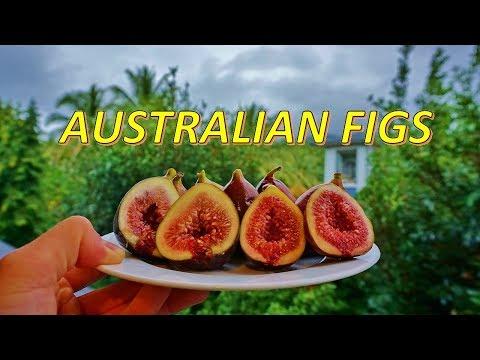 fresh-australian-figs!-tasting-figs-in-australia