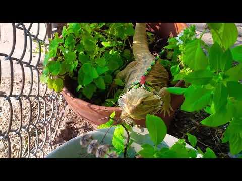 Bearded Dragon Eating Herbs