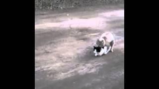 Кот трахает кошку
