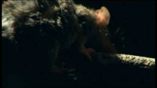 Antechinus Mating