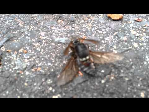 Wasp vs. Horse Fly
