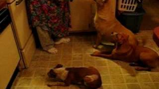 8 Dogs Getting Treats. Boxer Mix ,red Heeler, Corgi ,dashound , Shar Pei Mix ,begal