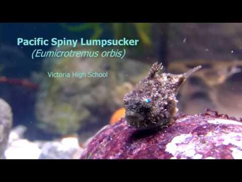 Pacific Spiny Lumpsucker (Eumicrotremus Orbis)