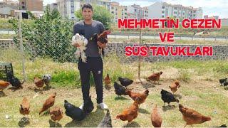 Mehmetin Gezen Ve Süs Tavukları