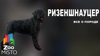 Ризеншнауцер - Все о породе собаки | Собака породы  ризеншнауцер
