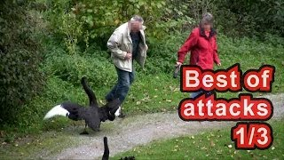Christmas special: Best of Swan Attacks (1 / 3) Schloss Ringenberg - angry swan attacks