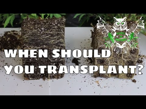 When Should You Transplant? For an Increased Yield | Know When Your Plant is Root-bound.