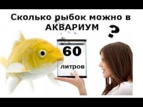 Рыбка петушок: содержание, размножение, фото.
