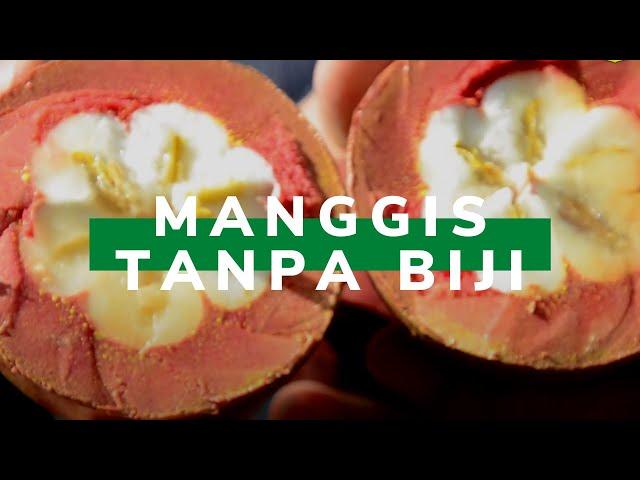 Inilah Manggis Tanpa Biji dari Kaltara