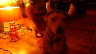 Devil Dog Falling Asleep Stood Up Thumbnail