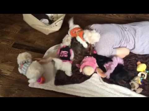 6 week old Havanese Puppies! :)
