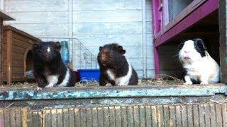 Guinea Pig Shed Tour!