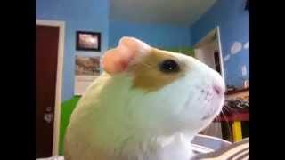 My Guinea Pigs- Photos